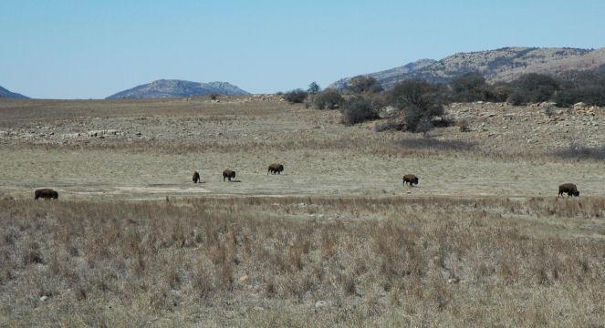 buffalo_2298q.jpg